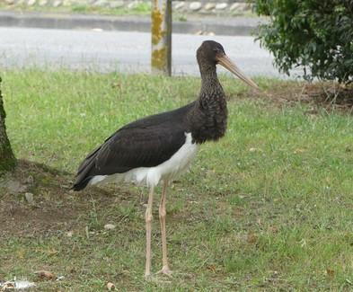 Une belle cigogne noire à Soues
